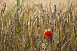 Thumbnail Wheatfield with poppy