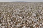 Thumbnail Cotton field (Gossypium barbadense) with open infructescences, La Palma, Highway 87, Arizona, USA