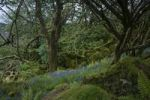 Thumbnail Primeval forest with bellflowers, Carsaig Bay, Isle of Mull, Scotland, United Kingdom, Europe