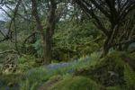 Thumbnail Urwald mit Glockenblumen, Carsaig Bay, Isle of Mull, Schottland, Großbritannien, Europa