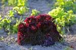 Thumbnail salad Lollo Rosso in a field