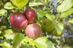 Thumbnail Apples (Malus domestica) from organic farming