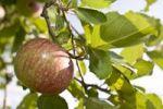 Thumbnail Apple (Malus domestica) from organic farming