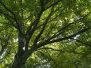 Thumbnail Canopy of a beech (Fagus)