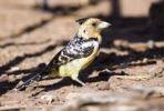 Thumbnail Crested Barbet (Trachyphonus vaillantii), Ihaha, Chobe National Park, Botswana, Africa