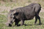 Thumbnail Common Warthog (Phacochoerus africanus), Chobe National Park, Botswana, Africa