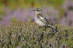 Thumbnail Young female African Stonechat (Saxicola torquatus)