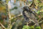 Thumbnail Starling (Sturnus vulgaris)