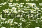 Thumbnail margerite, chrysanthemum maximum