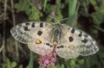 Thumbnail Mountain Apollo butterfly (Parnassius apollo) sucking nectar of origanum