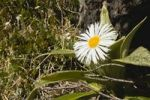 Thumbnail Mountain daisy flower (Celmisia verbascifolia), Fjordland National Park, South Island, New Zealand