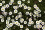 Thumbnail Daisy, Bellis perennis