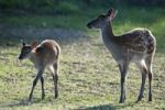 Thumbnail Sika Deers (Cervus nippon), juvenile and doe with backlighting