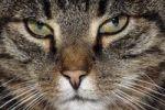 Thumbnail Domestic cat, male house cat (Felis silvestris forma catus), portrait