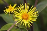 Thumbnail Flowering Giant Inula (Inula magnifica)