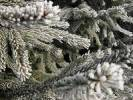 Thumbnail branches of a fir coated with hoar frost