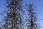 Thumbnail Dead spruces (Picea), Black Forest, Baden-Wuerttemberg, Germany, Europe