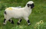Thumbnail Lamb of the Valais Blacknose sheep breed, Valais, Switzerland, Europe
