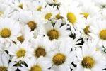 Thumbnail White chrysanthemum (Chrysanthemum)
