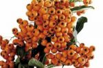 Thumbnail Berries of the firethorn (Pyracantha)