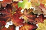 Thumbnail Autumn foliage, maple leaves