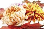 Thumbnail Autumn foliage, maple leaves and chrysanthemums (Chrysanthemum)