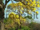 Thumbnail Chaco landscape in spring with typical trees: foreground: Paratodo with yellow flowers Tabebuia caraiba, background bottle tree Chorisia insignis, Gran Chaco, Paraguay