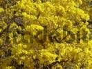 Thumbnail Close-up of the unbelievable mass of the yellow flowers of the Trumpet tree Tabebuia caraiba, Gran Chaco, Paraguay