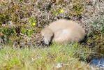 Thumbnail Great Skua (Stercorarius skua) chick, Fair Isle, Shetland, United Kingdom, Europe