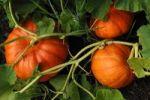 Thumbnail Ripe Pumpkins (Cucurbita pepo) on the plant