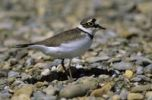 Thumbnail Little Ringed Plover (Charadrius dubius) in the breeding territory