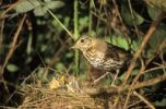 Thumbnail Song Thrush (Turdus philomelos) at the nest with young