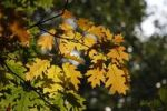 Thumbnail Oak leaves (Quercus) in the fall