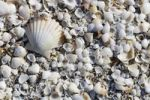 Thumbnail Shells washed ashore, beach of Peniscola, Costa Azahar, Spain, Europe