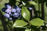 Thumbnail Bilberries (Vaccinium myrtillus) on the bush
