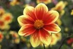 Thumbnail Simple Dahlia flower (Dahlia)