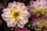 Thumbnail Flower of a Dahlia (Dahlia hybrida)