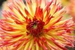 Thumbnail Flower of a Cactus Dahlia (Dahlia hybrida)