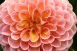 Thumbnail Petals of a pompom dahlia (Dahlia hybrida)
