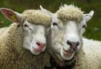 Thumbnail Two sheep in partnership