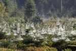 Thumbnail Spider webs on young spruces, Indian summer, Allgaeu, Bavaria, Germany, Europe