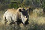 Thumbnail White Rhinoceros (Ceratotherium simum), Madikwe Game Reserve, South Africa