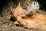 Thumbnail Hauskatze (Felis catus), Jungtier