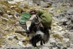 Thumbnail Trekking, heavily laden yak (Bos mutus), Chitu-La Pass 5100 m, old pilgrim route through the mountains from the Ganden monastery to Samye, Himalayas, Tibet Autonomous Region, People's Republic of