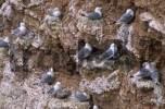 Thumbnail Kittiwake Rissa tridactyla with chicks on sandstone cliff Helgoland Schleswig-Holstein Germany