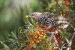 Thumbnail Starling (Sturnus vulgaris) eating a Sea-buckthorn berry (Hippophae rhamnoides)