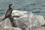 Thumbnail Cormorant (Phalacrocorax carbo) with battered wing