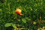 Thumbnail orange blooming rose in front of green boxtree