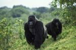 Thumbnail Mountain gorillas (Gorilla beringei), foraging, Virunga Nationalpark, Zaire