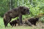 Thumbnail Wolf (Canis lupus) with pups at den, North America
